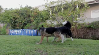 Dogs Playing Two Pets Canine Garden Animals - Video