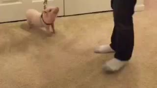 Mini Pig super excited about going for a walk - Video