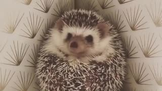Adorable Hedgehog waiting For Family Members