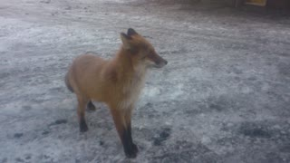 Befriending A Fox - Video