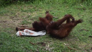 Rescued orangutan orphans play fun games together - Video