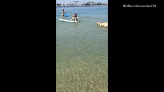 Golden dog biting on rope from surfboard while other is on top of surfboard - Video