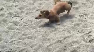 Small tan dog runs around sand playground - Video