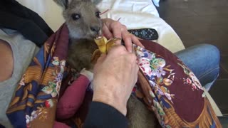 Baby Kangaroo Recovers from Carwoola Bushfire - Video