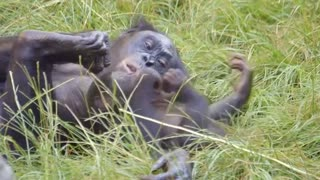 Baby bonobo monkeying around at San Diego Zoo - Video