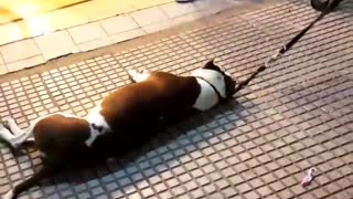 Dog being dragged in leash  - Video