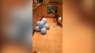 Dog Absolutely Loves To Pop Balloons