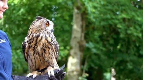 Big owl thinks to fly or not but