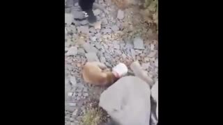 Fox Rescue in Borujerd - Video
