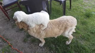 Smart Doggy Would Much Rather Go On Golden Retriever Back Rides