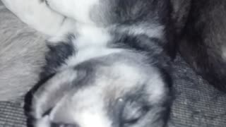 Cute Husky puppy dreaming - Video