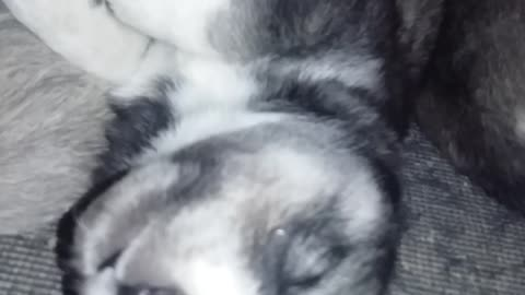 Cute Husky puppy dreaming