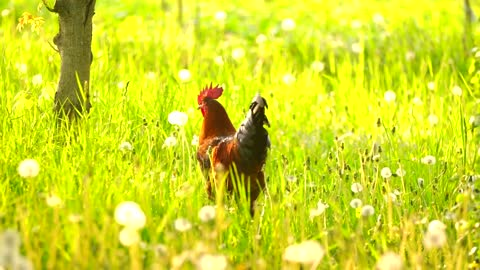 Rooster walking on the grass