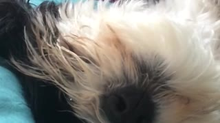 Slowmo white dog upside down licks nose