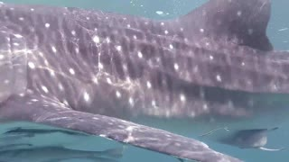 """Bahloul"" is Whale Shark in Hurghada, Egypt"