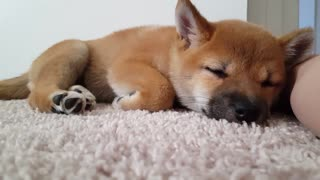 sleepy shiba inu  - Video