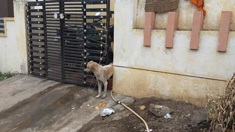 Stray Dog Stuck in a Gate