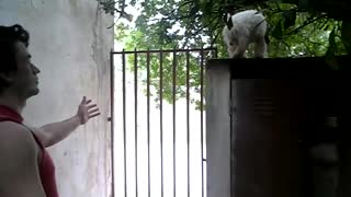 White dog jumps to red sleeveless shirt guy - Video