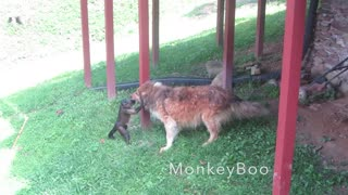 Monkey attempts to take a ride on dog's back - Video