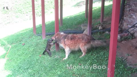 Monkey Wants To Ride Dog Like A Horse, Dog Thinks Otherwise