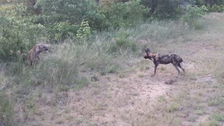 Wild Dogs and Hyena Having Words