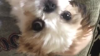 Small brown white dog smiles at camera  - Video
