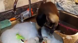Amazing video monkey wash clothes
