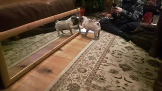 9 Week Old Pug Seeing Her Own Reflection for the First Time - Video