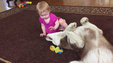 A darling baby's infatuation with a Husky's mouth!!