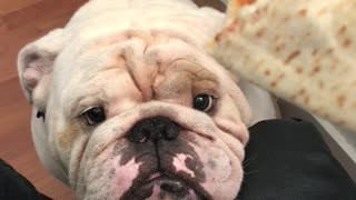 Titon the Bulldog is denied a meatball sub  - Video