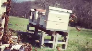 Honey Bees in Slow Motion