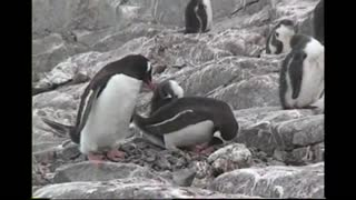 Penguins in Their Natural Habitat - Video