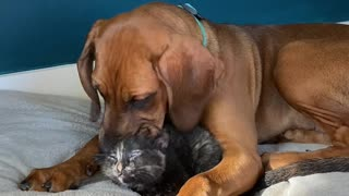 Smitten puppy can't stop kissing new foster kitten