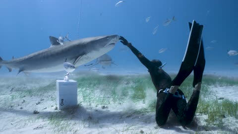 "This fearless freediver ""dances"" with two massive tiger sharks"