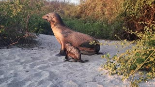 Seal Summons Pup to Follow From the Beach