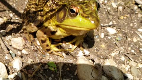 Bullfrog from normal to slow mo