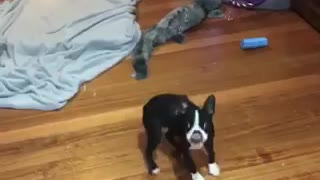 Boston Terrier is a bubble-popping machine