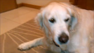 Golden Retriver refuses to give up rock and has some help!  - Video