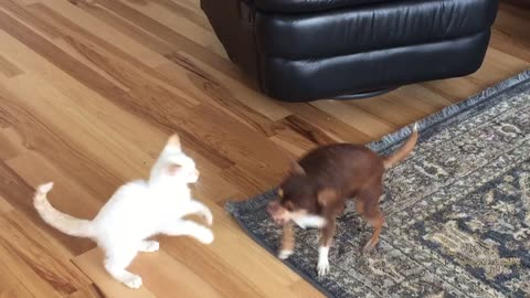 Chihuahua Tussles With Cat On Living Room Rug