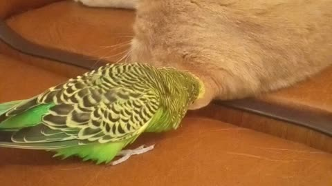 Parrot treats cat's ear like his own personal chew toy