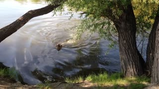 Bathing a labrador in a river.