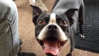 Vocal Boston Terrier makes hilarious sounds - Video