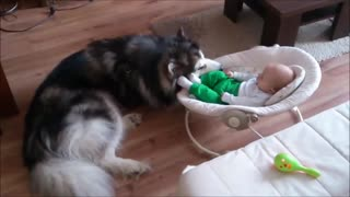 Alaskan Malamute Watches Over 4-Month-Old Baby - Video