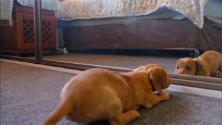 Dog playing with mirrors