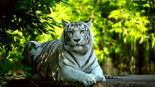 White tiger in the woods