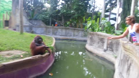A Man Tosses A Treat At An Orangutan, The Orangutan Decides To Return the Favor