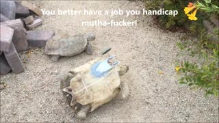 Thug Tortoises on a Date - Video