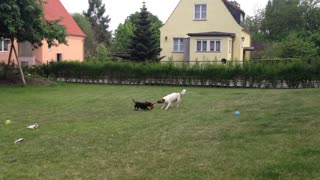 small Dog vs. bigger Dog - Video