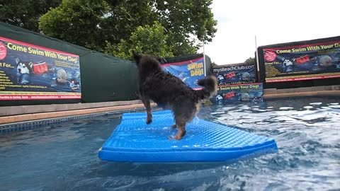 Terrier mix Ras gets splashed while balancing on pool float
