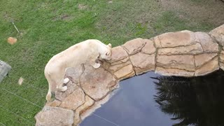 White Lioness enjoys a drink of water - Video